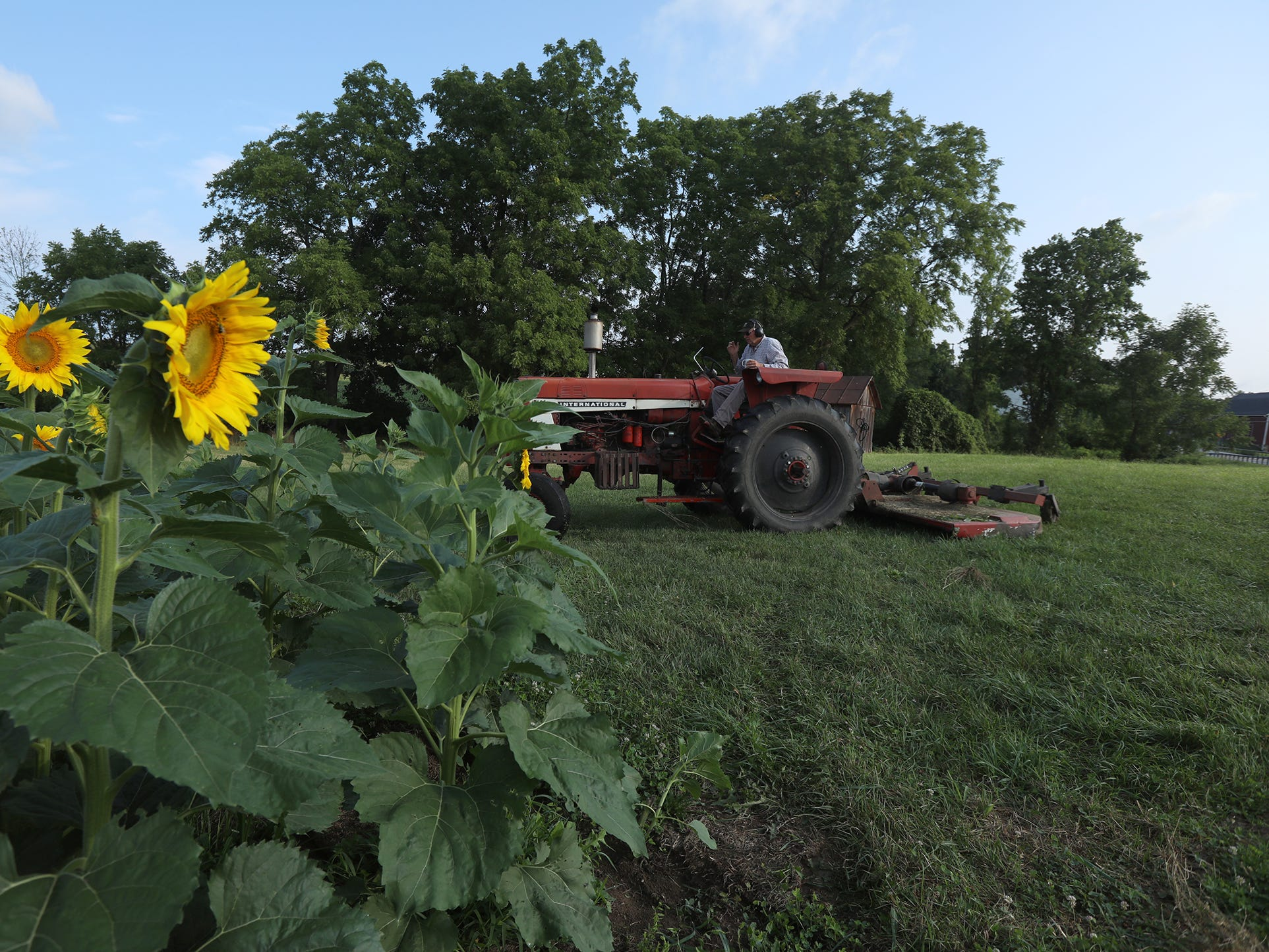 Mark Greene, of Hopkins Family Farm in Pittsford, cuts the grass around the sunflowers that he grows for birdseed.