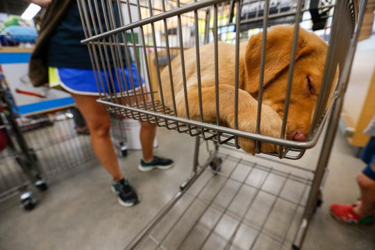 Willow takes a nap inside of a shopping cart at PetCo on Thursday, Aug. 9, 2018.