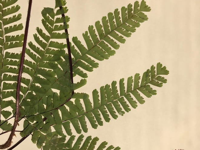 Maidenhair fern likes to grow in damp places.
