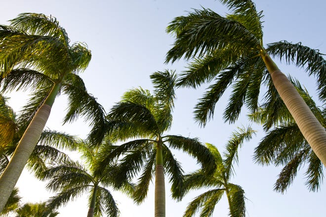 Palm trees growing in Coral Springs, Florida.  Lethal bronzing disease is damaging palm trees.