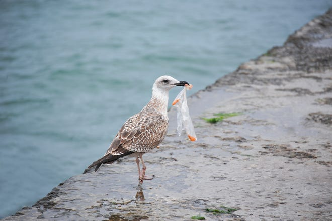 Plastic bags, which can reside in the environment for at least 50 years, pose risks to the health of many birds and mammals.