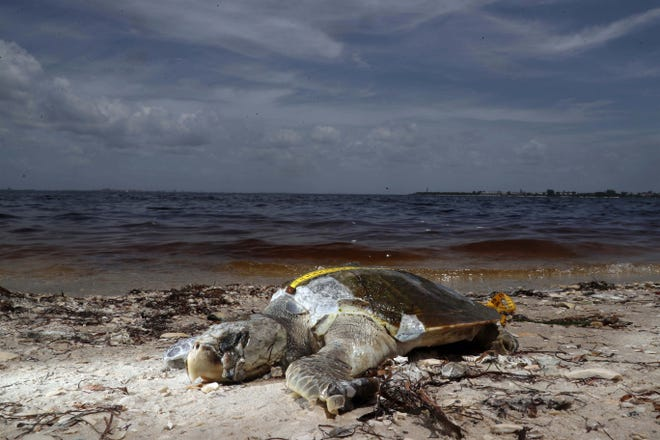 A red tide outbreak is ravaging the marine life in Southwest Florida. Some of the victims include this Kemp's ridley sea turtle on Sanibel Island on Bunche Beach and the Sanibel Causeway.