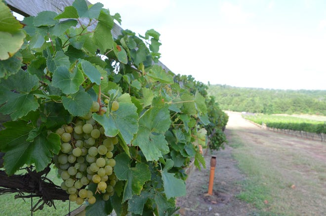 Growing conditions kept Texas wine grape growers on their toes. Per-acre yields are expected to be lower than previous years due to drought, but growers are expecting good quality fruit in 2018.