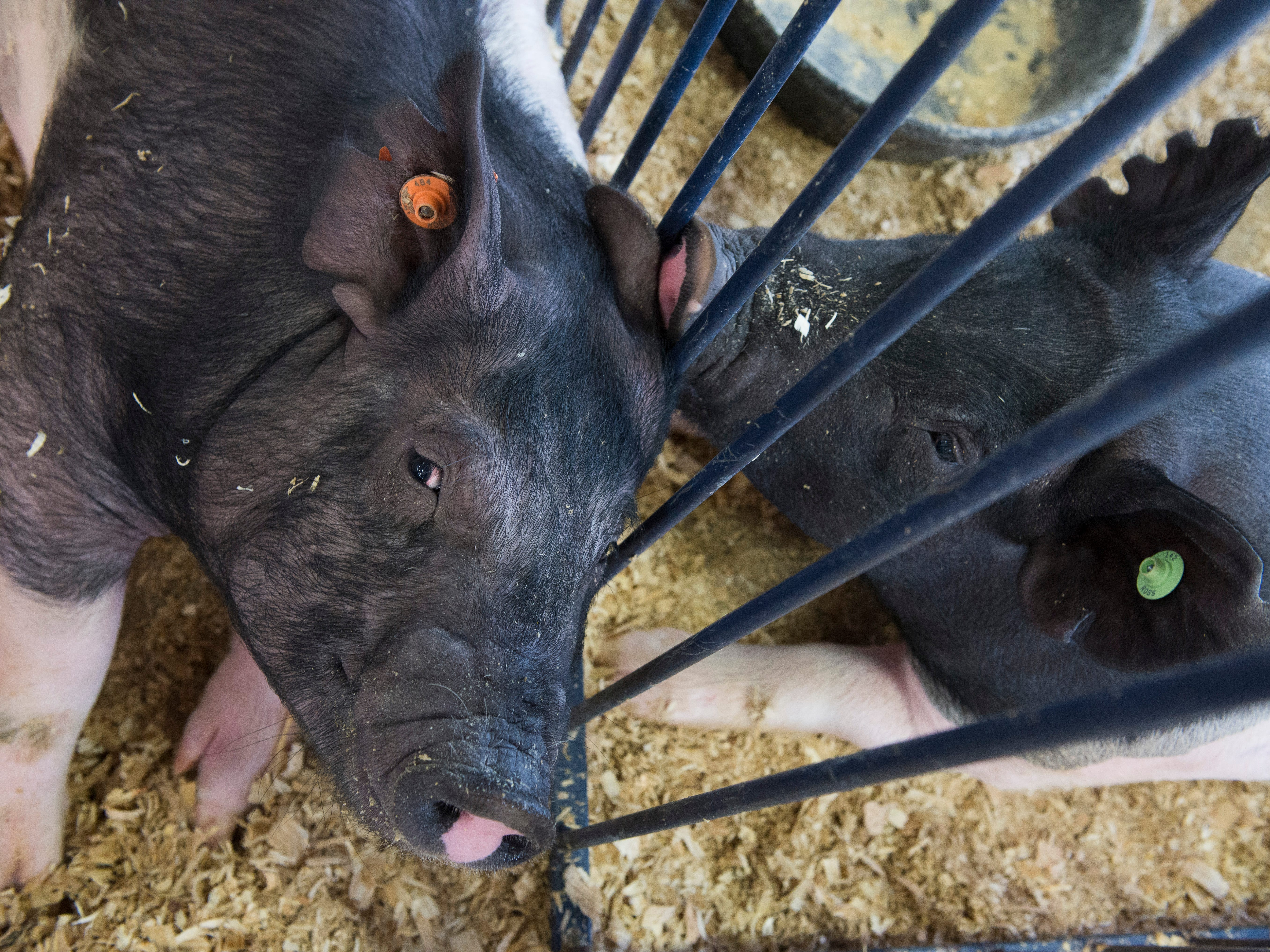 Hogs nuzzle in their enclosures during the Junior Fair Swine Sale at the Ross County Fair on August 9, 2018 in Chillicothe, Ohio.