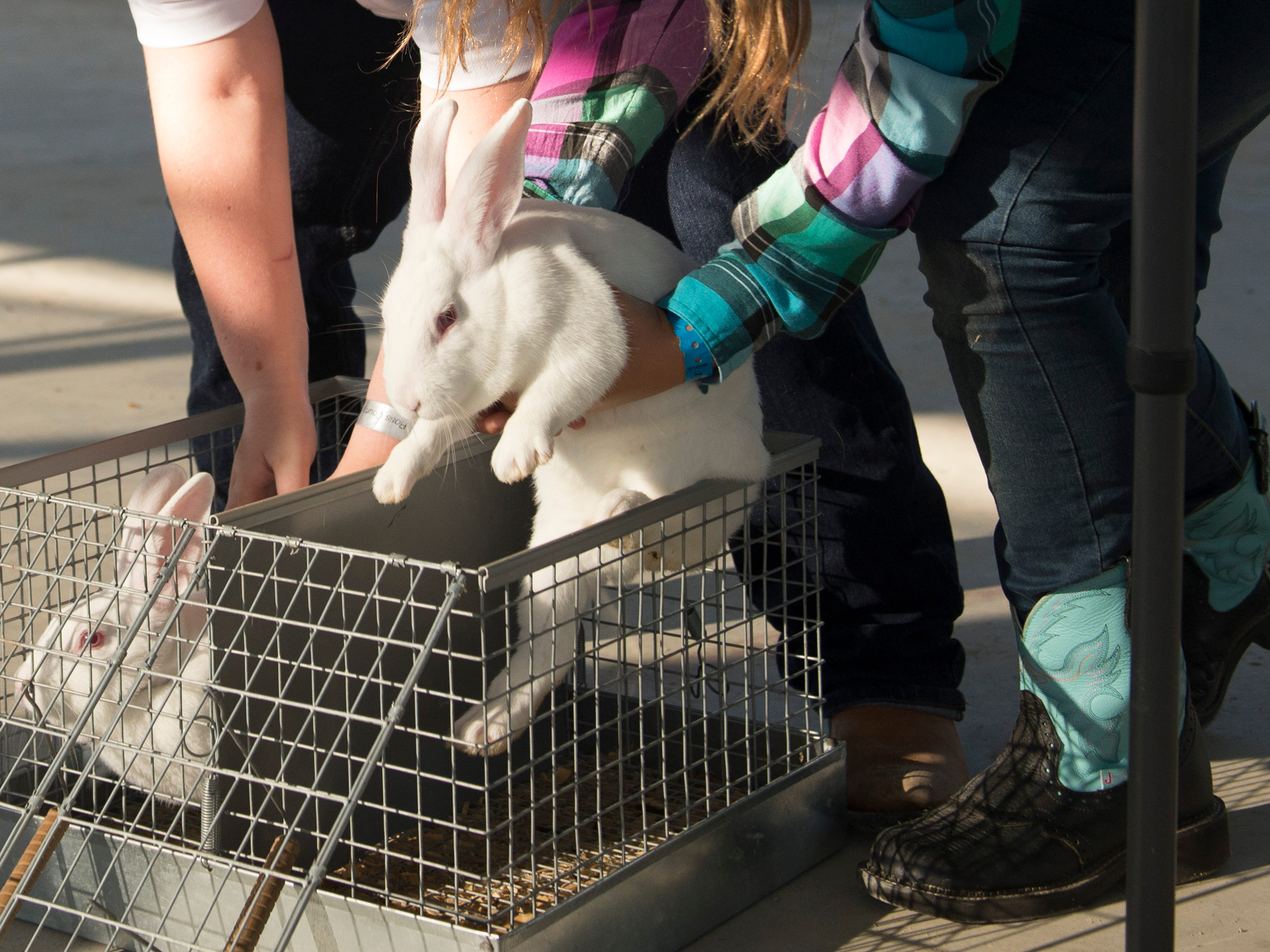 Junior competitors retrieve rabbits from their enclosures during the Small Animal Showman of Showmen Contest at the Ross County Fair on August 9, 2018 in Chillicothe, Ohio.