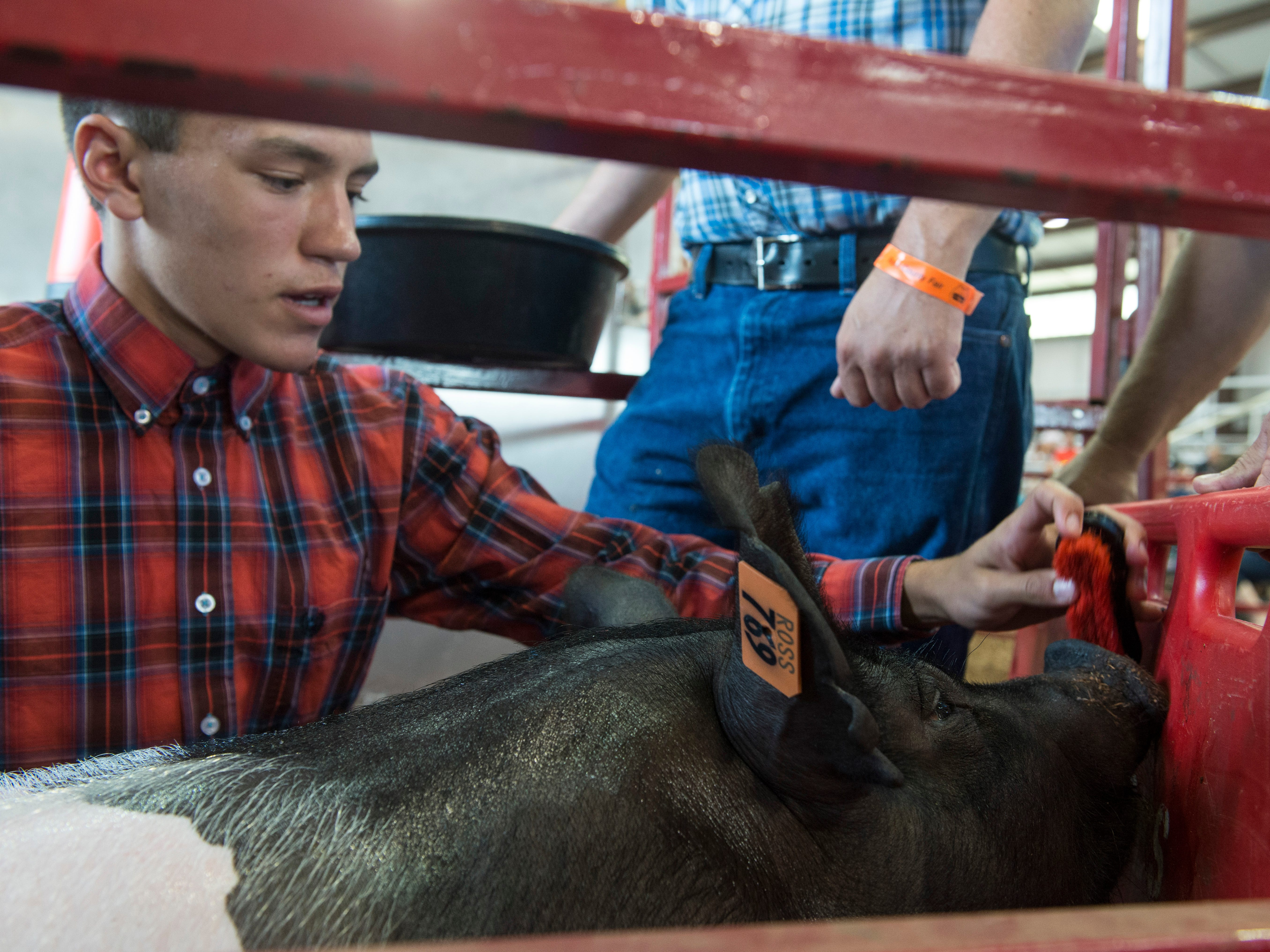 Garrett Simmons prepares his 261-pound hog for auction during the Junior Fair Swine Sale at the Ross County Fair on August 9, 2018 in Chillicothe, Ohio. The hog was selected as the 2018 Grand Champion Market Hog.