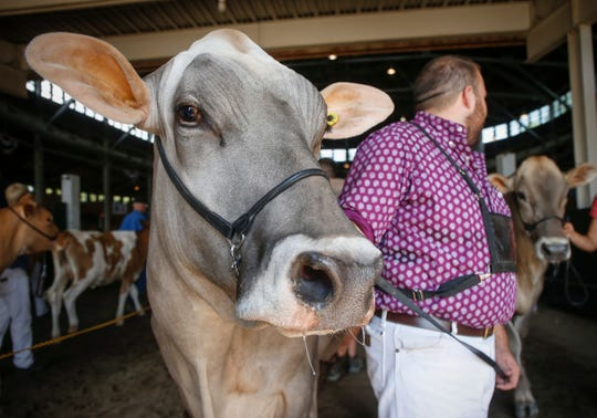 Dairy cows are lead out of the showroom after being judged on Friday, Aug. 10, 2018, during the Iowa State Fair in Des Moines.