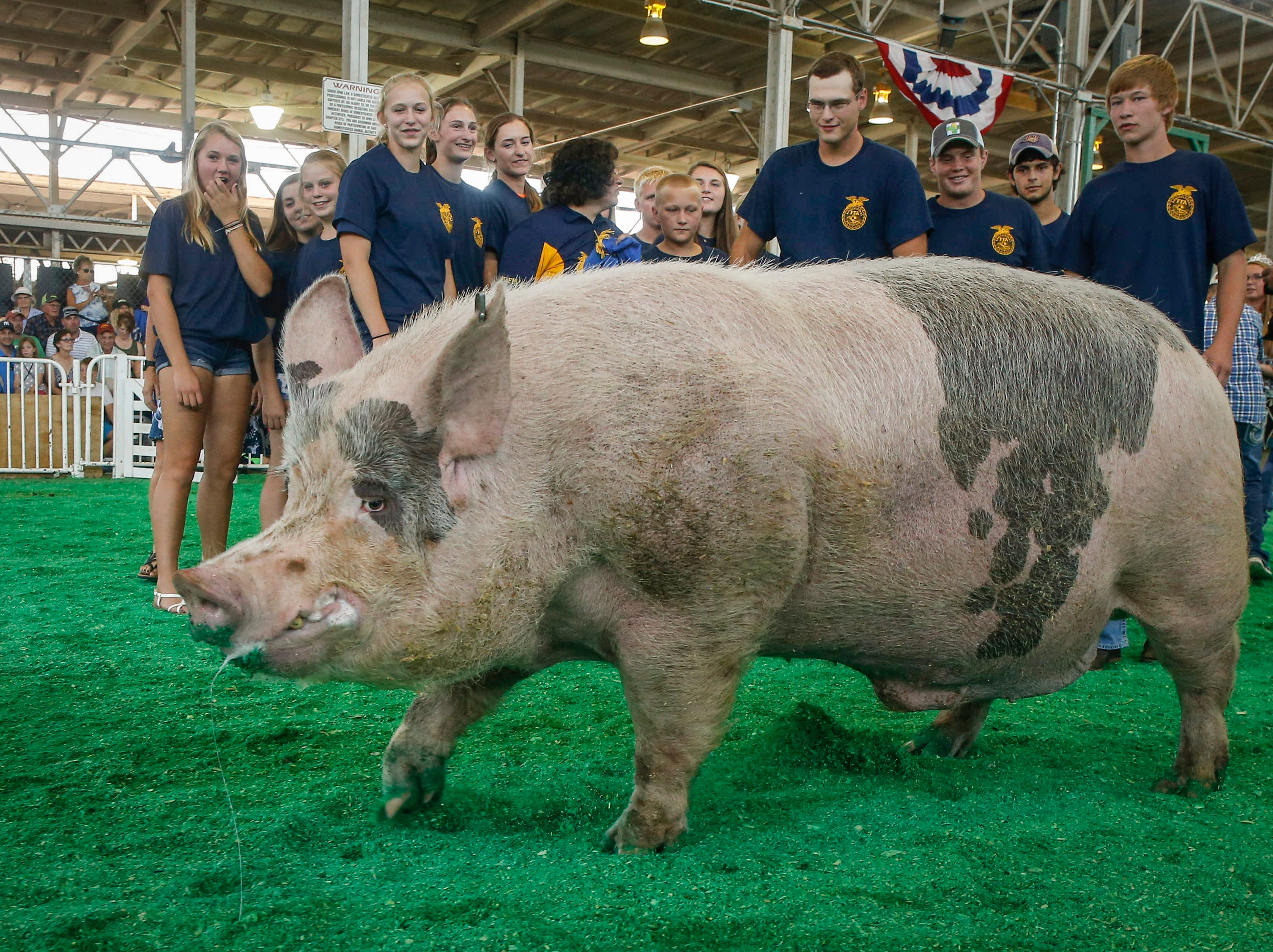 Itty Bitty, a 1,163-pound boar from Manchester, won the 2018 Big Boar contest during the Iowa State Fair in Des Moines.