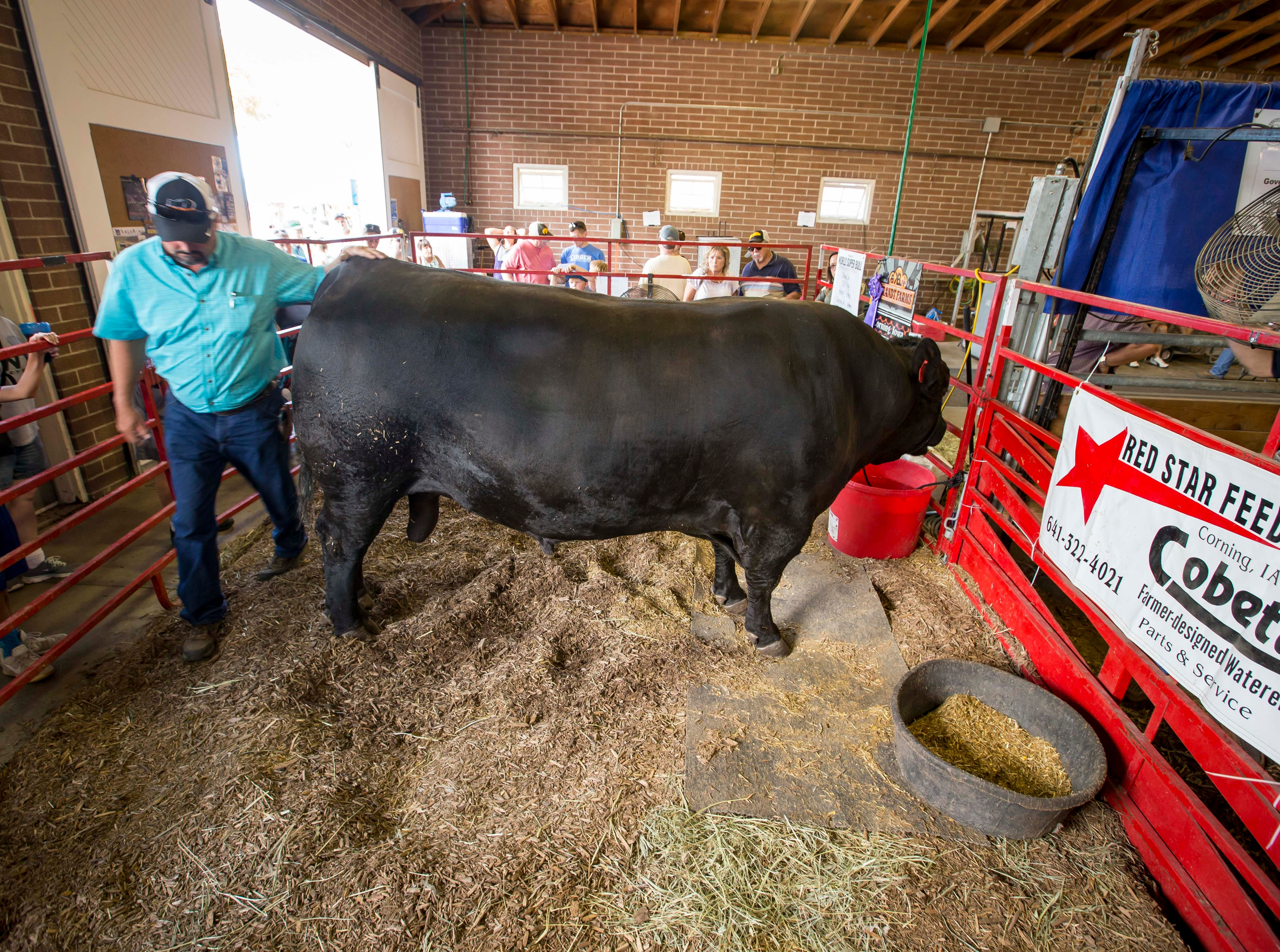 Dream On, the 3,050 pound Simmi/Angus bull owned by Brandt Farms of Corning, outweighed the competition to win the Super Bull contest judged Thursday at the 2018 Iowa State Fair shown here during the Iowa State Fair Friday, Aug. 10, 2018, in Des Moines, Iowa.