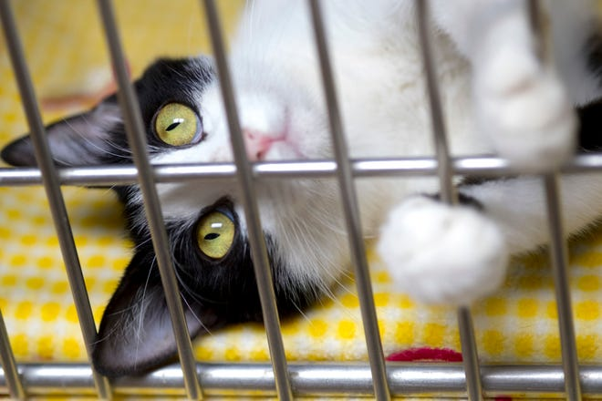 Professor McGonagall, a black-and-white cat at the Vanderburgh Humane Society, is one of nearly 300 furry felines in need of a home as of Friday afternoon.