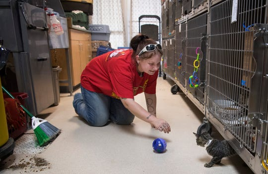 Audra Reeves attempts to corral a young tabby named Beater (named after a position in the game of Quidditch) after his outside-the-crate playtime had come to an end Friday afternoon. The Vanderburgh Humane Society is looking for fosters to take in some of their nearly 300 cats and kittens.