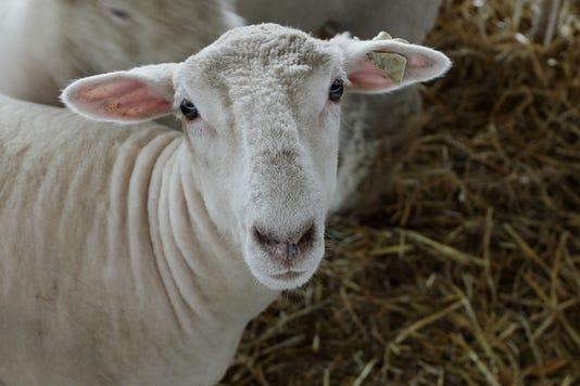 Sheeps Face