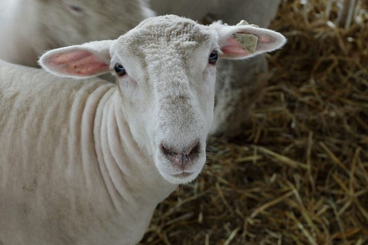 Sheeps Face