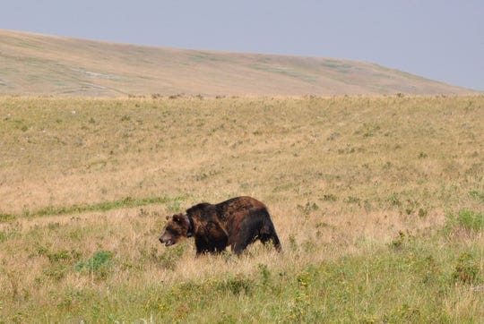 State and federal wildlife managers have captured three different grizzlies over three days at the Blackleaf Livestock Co. ranch west of Bynum.
