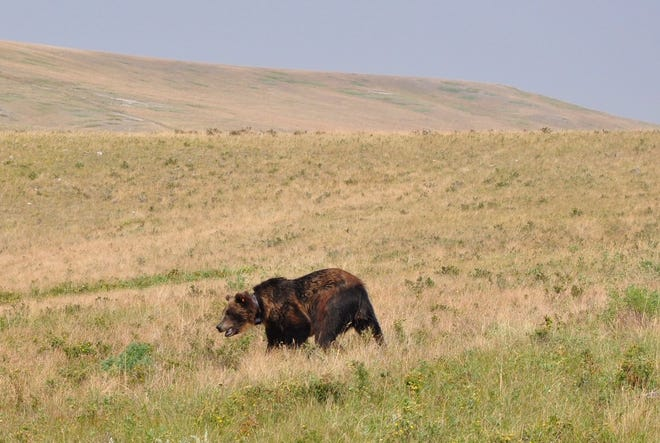 Montana Fish, Wildlife and Parks (FWP) has confirmed the most easterly sighting of a Grizzly Bear in living memory near Big Sandy on Tuesday.