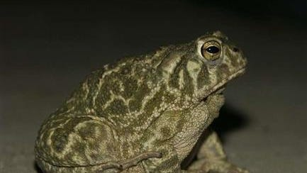 The Great Plains toad must find shade and moisture on the prairie to survive the summer heat.