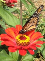 A butterfly in a red zinnias is shown.