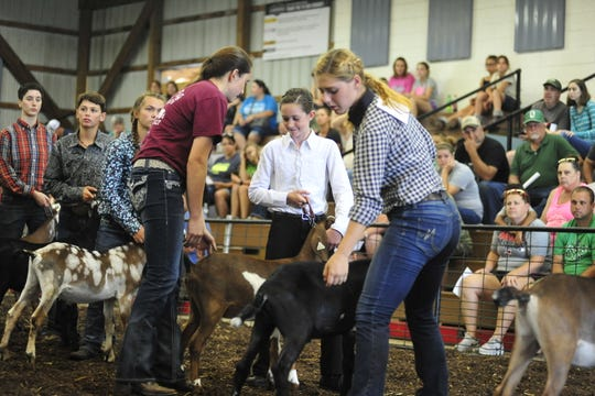 Deborah Crouch, of Mansfield, braces a goat Friday during the Showman of Showmen Contest at the Richland County Fair. Crouch, who won rabbit showmanship earlier in the week, competed against the six other species showmanship winners.