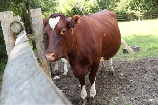 Valentine, a shorthorn milking cow about to have a calf, stands in the barnyard on the Keotola family farm from Finland. Valentine is similar to the cows the Swedish community had in 1847. Each family would have had several of these heritage breed cows to provide milk for them.