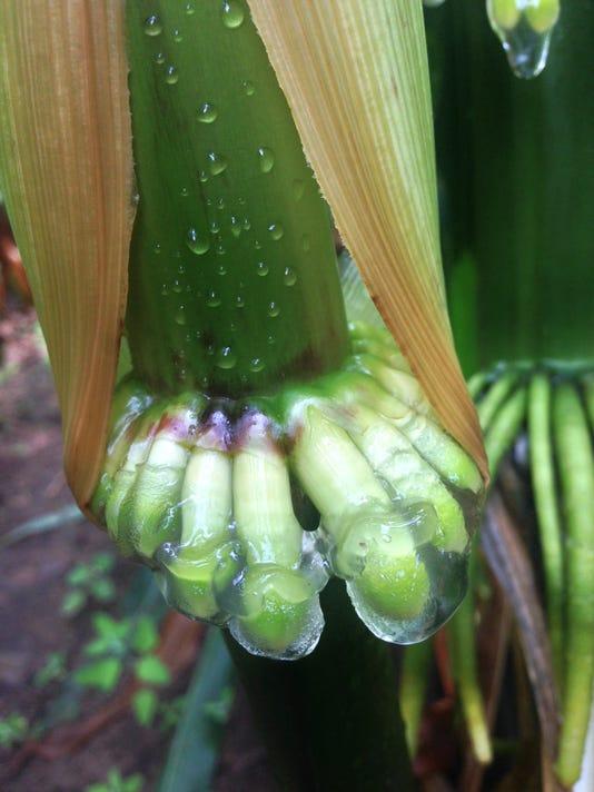 Nitrogen Fixing Corn 002