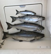 Different year classes of chinook salmon, all caught on the same day on an outing by Jack's Charter Service in the Lake Michigan waters east of Milwaukee, are arranged on the deck.