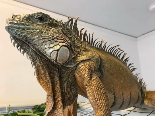 Zach Hauser's iguana escaped from his East Side apartment.