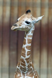 The Milwaukee County Zoo's new female giraffe will have lots of company this weekend, with the arrival of Milwaukee Journal Sentinel a la Carte.