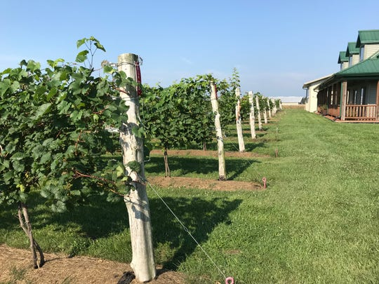 The couple's system of trellising allows the grapes to hang down at waist level, making them easy to harvest.