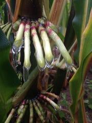 Nitrogen-fixing corn varieties secreting large amounts of sugar-rich gel as they grow in Madison, Wisconsin.