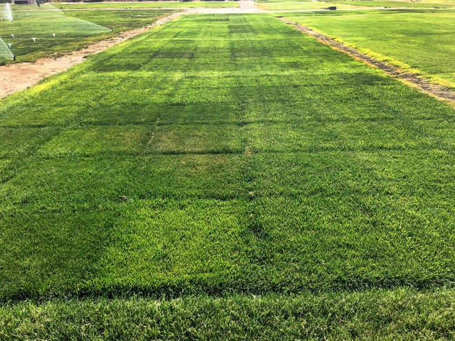 Using climate data to calculate the exact amount of water needed, New Mexico State University researchers Bernd Leinauer and Matteo Serena, watered this section of their grass at an 80 percent ET or evapotranspiration rate at the beginning of the drought period.