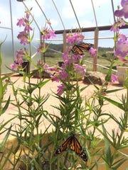 La Southwest Butterfly House ahora está abierto en el Arboretum y muestra 16 especies diferentes de mariposas nativas del norte de Arizona.
