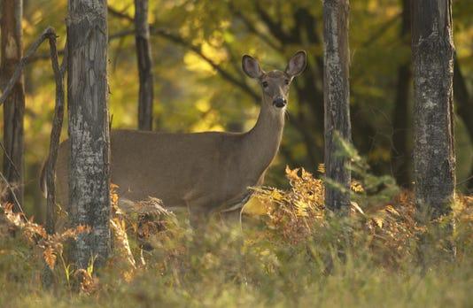 Whitetail Deer In Woods
