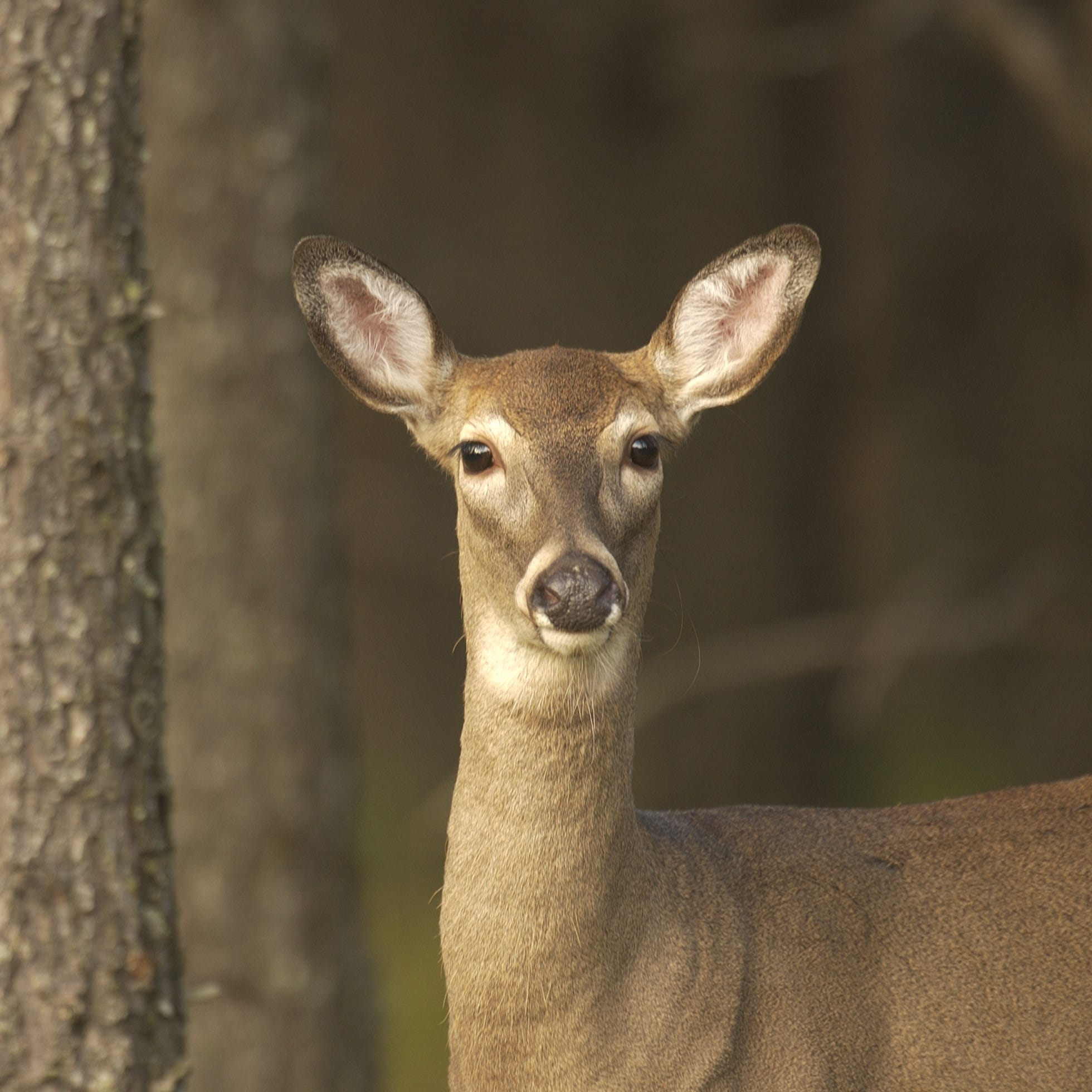 DNR: First U.P. deer found with chronic wasting disease