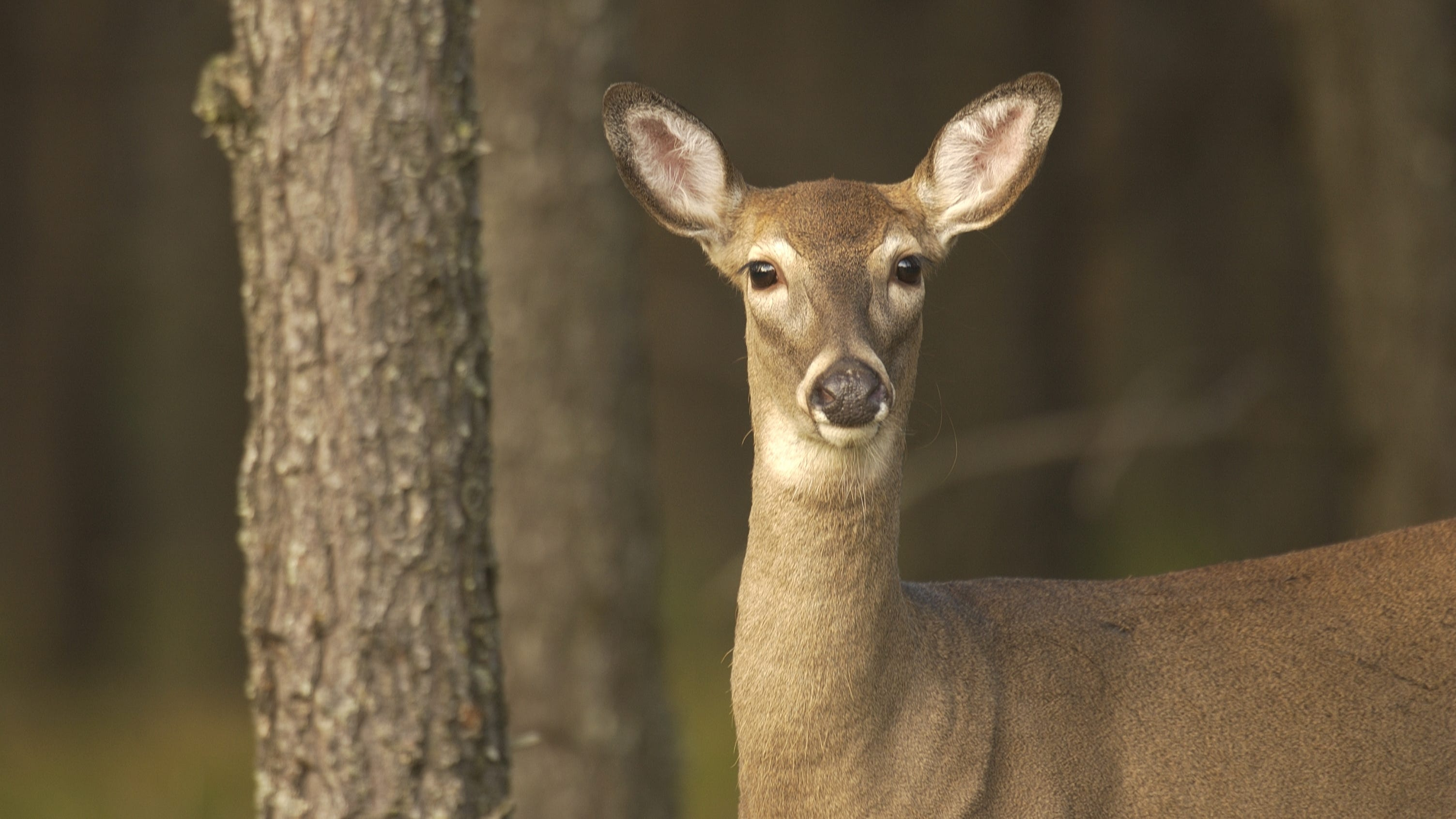 A 4-year-old doe killed on a deer damage shooting permit in Dickinson County's Waucedah Township has tested positive for chronic wasting disease.