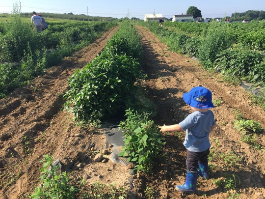 Families pick fresh vegetables in the community supported agriculture fields at Wickham Farm in Penfield on Aug. 4, 2018.