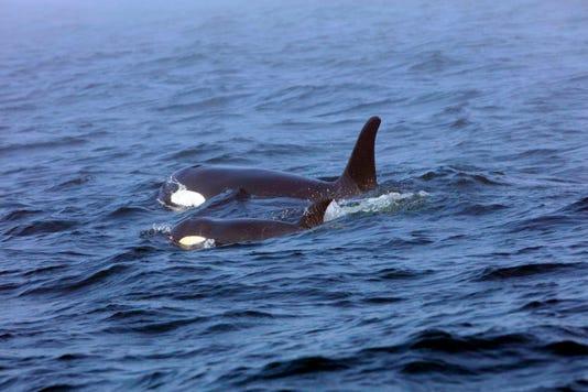 killer whale j50 orca