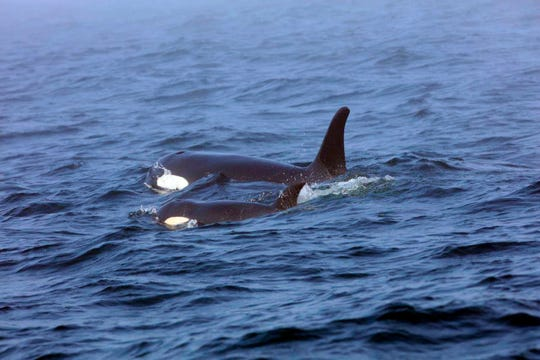 Southern Resident killer whale J50 and her mother, J16, swim off the west coast of Vancouver Island near Port Renfrew, B.C.