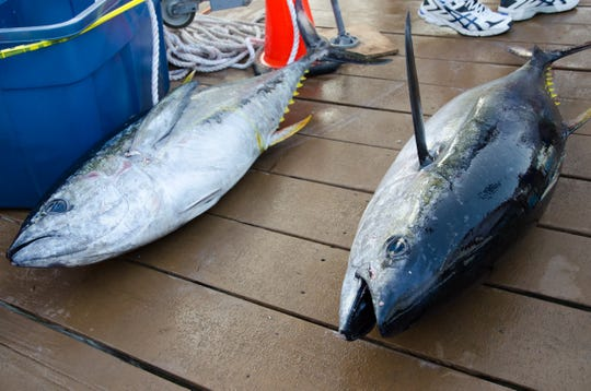 Two of the Buckshot's three tuna are brought to the dock on Thursday. The third and the largest, not pictured, took over first place in the tuna category at 75.5 pounds.