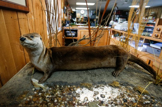 Ollie, a taxidermied otter, on display at Scotty's Trout Dock on Friday, Aug. 10, 2018.