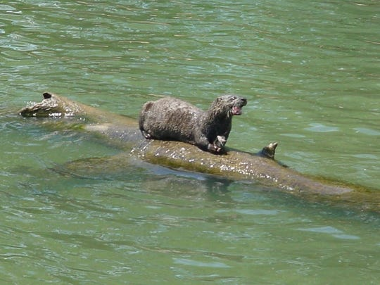A wild otter devours a rainbow trout near Scotty's Trout Dock at Lake Taneycomo.
