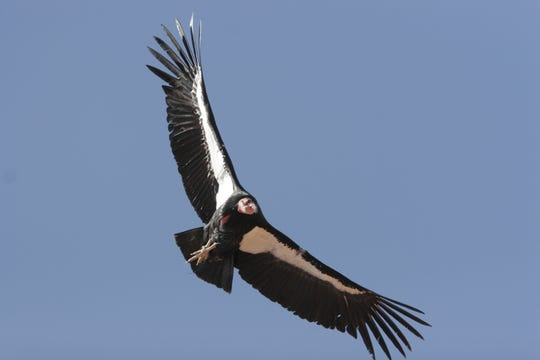 A California condor soars above the Southwestern desert. The endangered birds are the subject of a decades-old reintroduction program that has helped re-establish a population around the Vermilion Cliffs National Monument.