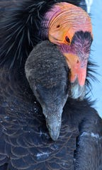An immature California condor nestles alongside an adult. They are two of the 85 birds currently living in a population around Vermilion Cliffs National Monument in northern Arizona.