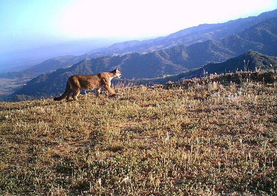 "Baby mountain lions are called ""cubs"" or ""kittens."" Young mountain lions have spots, but adults do not. Mountain lions can leap as high as 15 feet and as far as 40 feet."
