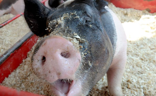 STAR FILE PHOTO A pig drinks water at the Ventura County Fair in this Star file photo.