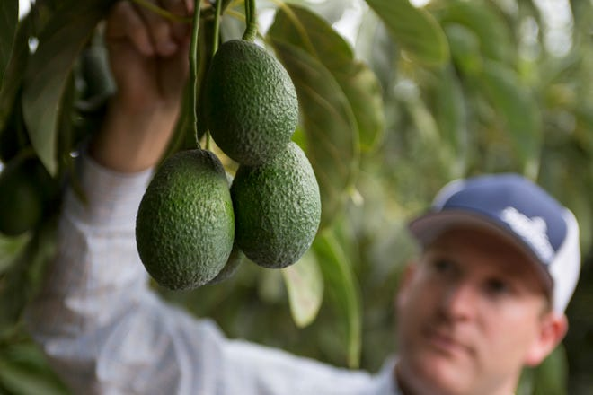 Ventura's Mission Produce is a global leader in producing, distributing and marketing fresh Hass avocados.