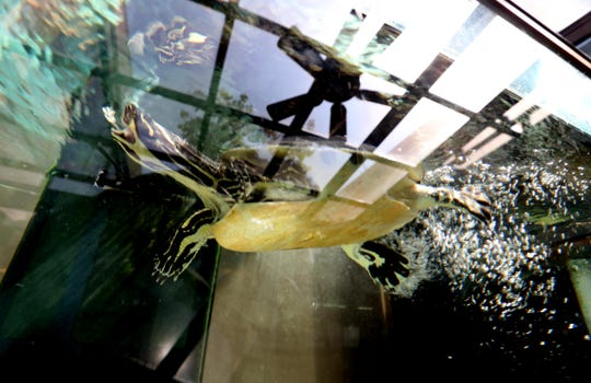 Tina, a 26-year old River Cooter turtle, swims in her tank at the Katonah Library Aug. 10, 2018. Tina has lived at the library for almost her entire life. Turtles like Tina can live for forty years. The library as begun a fundraising effort to raise money to purchase a larger tank for Tina, as well as an outdoor enclosure.