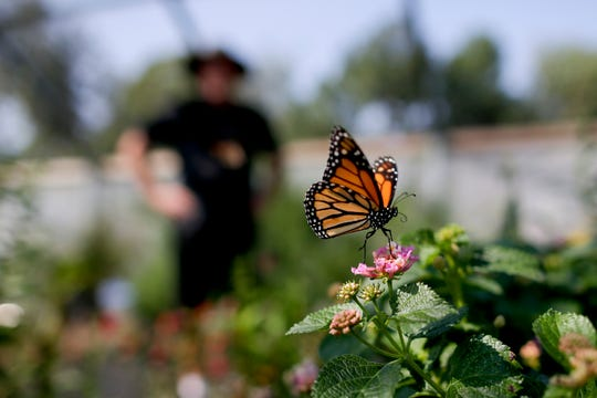 Tom Merriman stands behind a monarch in his butterfly atrium at his nursery in Vista, Calif. Milkweed has long been considered a nuisance on North American farmlands but now, more than 100 farmers in Quebec and Vermont are planting it in their fields to help restore the declining population of monarchs, which use that plant exclusively for their eggs and to feed the caterpillars.