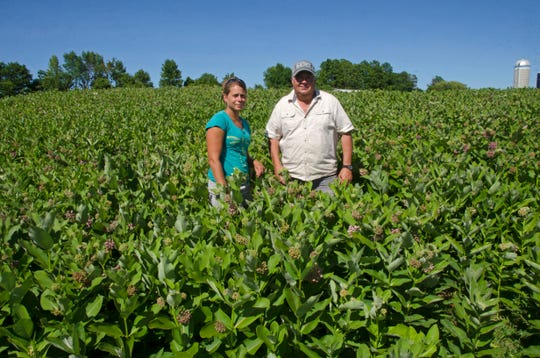 University of Vermont agricultural researcher Heather Darby, left, and Vermont farmer Roger Rainville waist-deep in a field of milkweed, in Alburgh, Vt., on Rainville's farm along the Canadian border. They've joined in an initiative to grow the longtime nuisance weed on farmlands to help save monarch butterflies, which need that weed to survive, and to develop a market for the milkweed's fibers in expensive winter coats and other products.