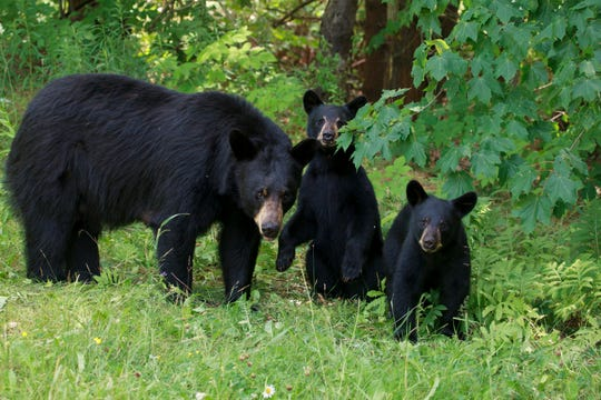 A stock image shows a black bear sow and cubs