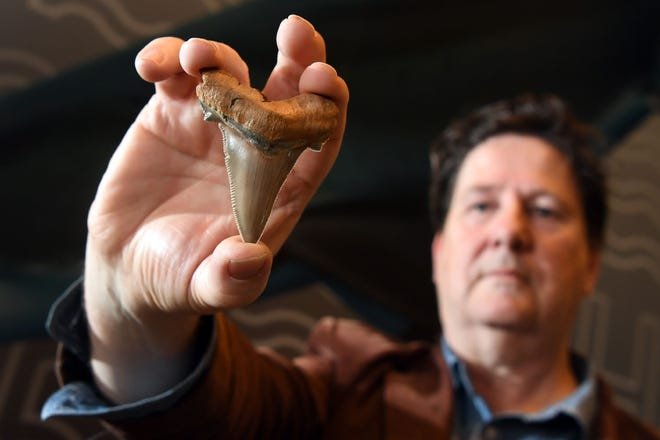 Fossil enthusiast Philip Mullaly holds a giant shark tooth -- evidence that a shark nearly twice the size of a great white once stalked Australia's ancient oceans -- at the Melbourne Museum on August 9, 2018.